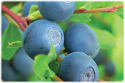 blueberries_250.jpg